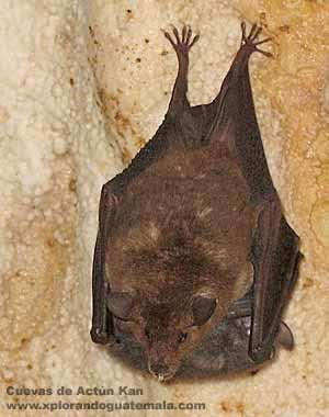 Murciélago colgando del techo de la cueva Actún Kan.
