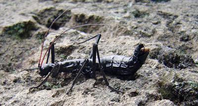 Paranisomorpha coriacea - Mión Hormicrán Phasmatodea - Pseudophasmatidae